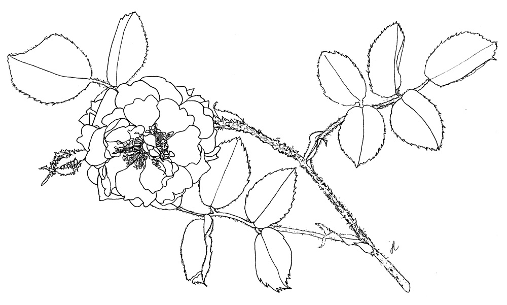 Rosa centifolia 'Muscosa' ©julyleesberg