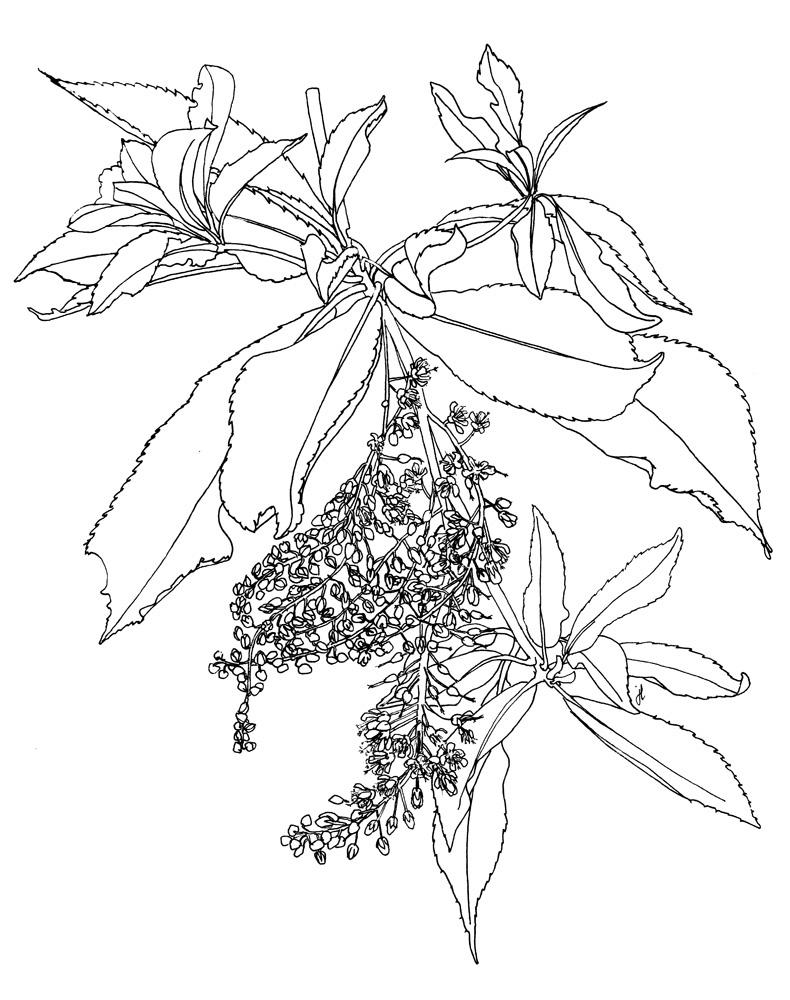 Japanse clethra, Clethra barbinervis ©julyleesberg